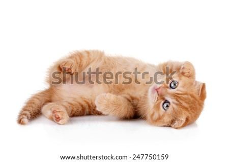 kitten lies on his back and plays on a white background - stock photo