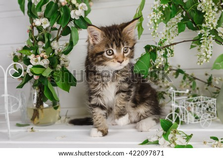 kitten Maine Coon