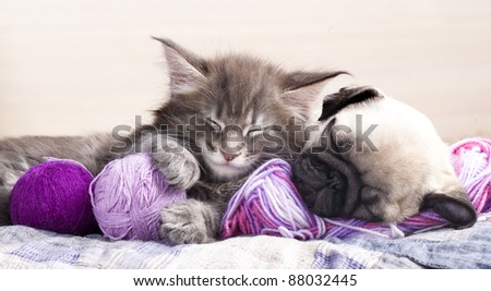kitten Maine Coon and puppy  pug , - stock photo