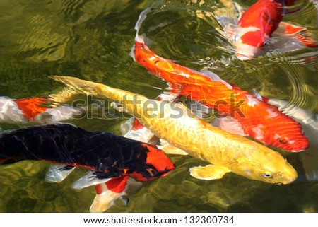4 koi fish on surface multicolored stock photo royalty for Koi pond music