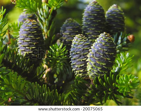 Korean fir - cones