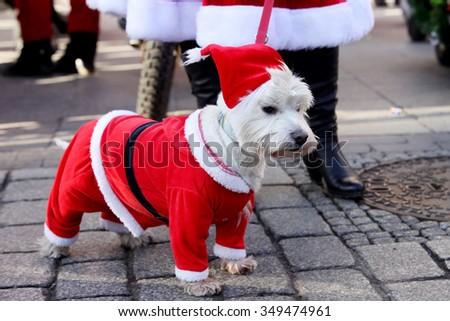 KRAKOW, POLAND - DECEMBER 6: Santas participate in the International Santa Claus motorcycle parade on Dec.6, 2015 in Krakow , Poland. Dog dressed as Santa Claus - stock photo