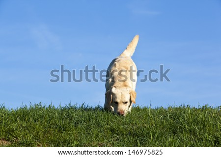 labrador dog sniffing on the ground - stock photo