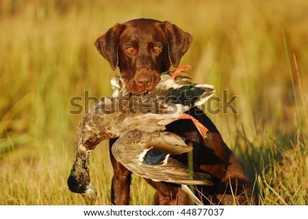 Labrador Hunting Dog holding a Mallard Duck - stock photo