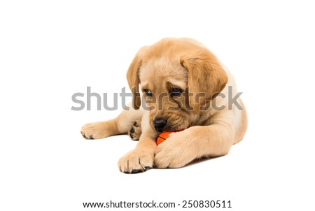 Labrador puppies on a white background - stock photo