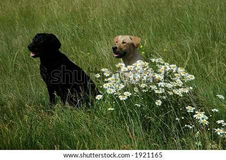 2 labs in daisy patch - stock photo