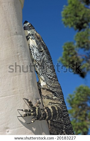 Lace Goanna (Varanus varius) or lace monitor on ghost ash tree - stock photo