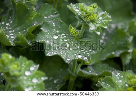 """""""lady's mantle"""" plant with water drops - stock photo"""
