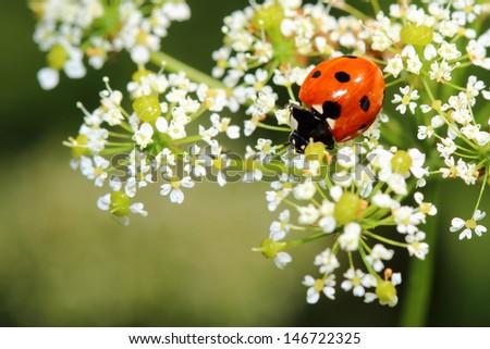 Ladybird on white flowers. Macro - stock photo