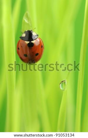 Ladybug (Ladybird) Crawling on Green Grass with Rain Drops - stock photo