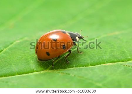 ladybug on green grass isolated on leaf - stock photo