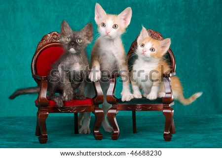 3 LaPerm kittens on mini victorian chairs, on green background - stock photo