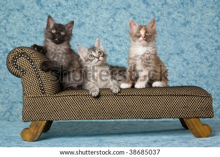 3 LaPerm kittens on miniature couch sofa - stock photo
