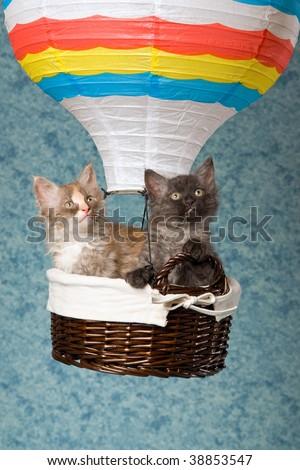3 LaPerm kittens sitting inside hot air balloon - stock photo