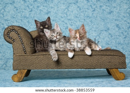 3 LaPerm kittens sitting on miniature brown couch sofa chaise - stock photo