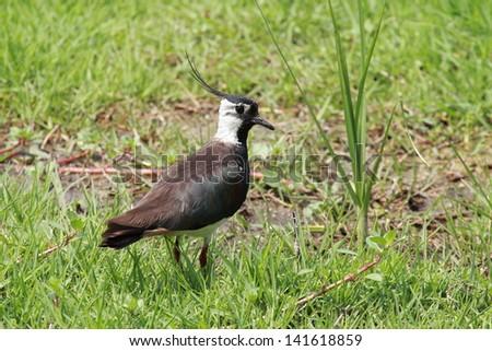 lapwing bird african wildlife migratory birds of the savannah kruger national park south africa - stock photo