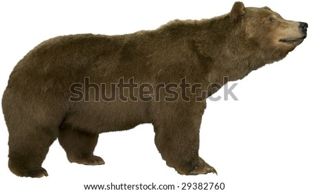 large brown bear walking isolated on white