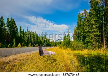 Large deer resting in tall grass. Canadian Rockies. Beautiful September day - stock photo