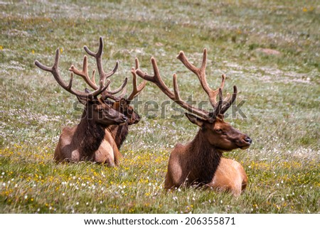 3 large male bull elk laying in yellow wildflowers in mountain meadow - stock photo