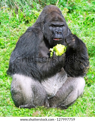 large male silver back western lowland gorilla (gorilla gorilla gorilla) eating vegetation in a seating position - stock photo