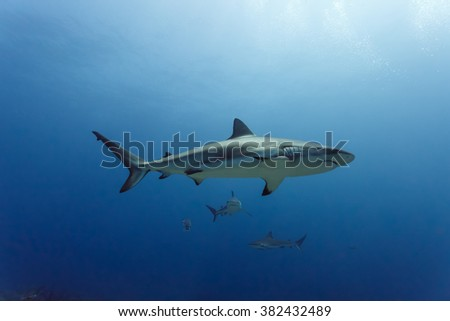 3 large reef sharks, Carcharhinus amblyrhynchos, swimming above coral reef