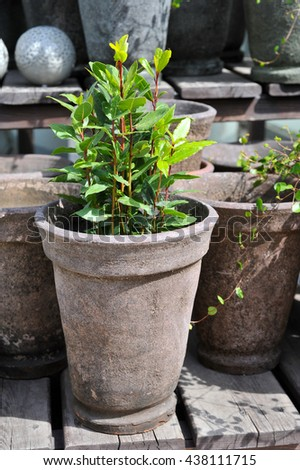 Laurel Bush to the pot in the garden. Gardening
