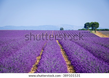 Lavanda fields. Provence - stock photo