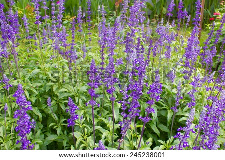 lavender growed in gradent it have  fresh air in the morning. - stock photo
