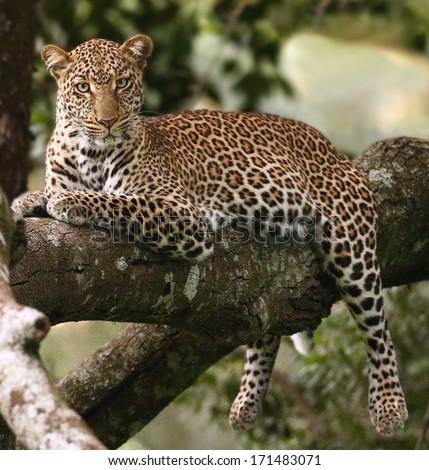 """'lazy bones.""""  Male leopard in tree - stock photo"""