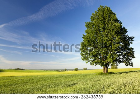 leafy green tree, lonely growing up in a rural field. Blue sky. Summer. - stock photo