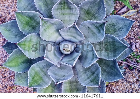 leaves of a blooming agave plant  in the desert - stock photo