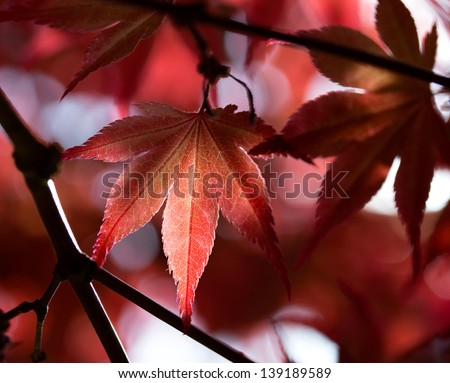Leaves of red maple in the forest - stock photo