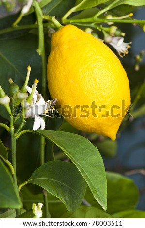 Lemon fruit and flowers
