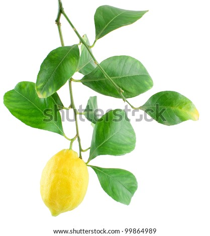 Lemon on a branch with leaves Isolated on a white background - stock photo