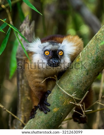 Lemur sitting on a branch. Close-up. Madagascar. An excellent illustration. - stock photo