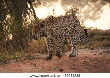 Leopard in Sabi Sands Game Reserve, South Africa - stock photo