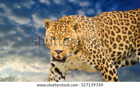 leopard on the sky background