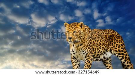 leopard on the sky background - stock photo