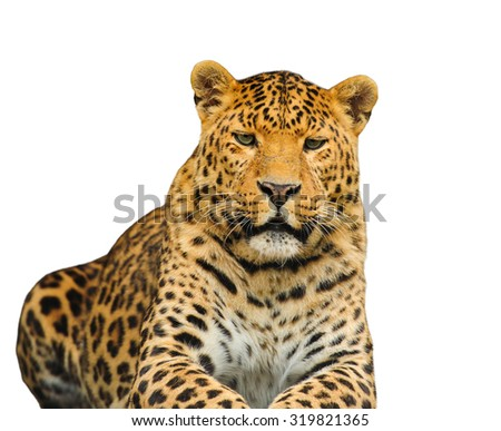 leopard on the white background - stock photo