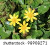 3 Lesser Celandine flowers - stock photo