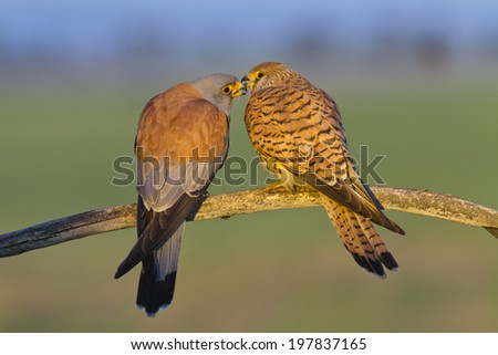 Lesser Kestrel Falco naumanni - stock photo