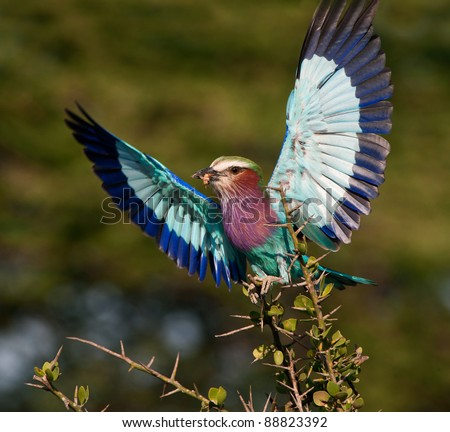 Lilac-breasted Roller (Coracias caudata) with catch. - stock photo