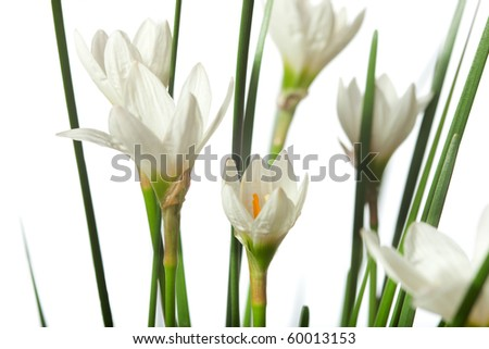 lilies isolated on a white background. zephyranthes candida - stock photo