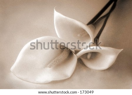 3 lilies sepia