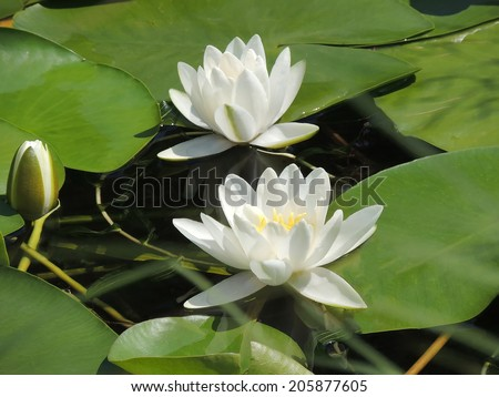 Lilies, surrounded by green leaves.   Floral landscape.   Lovely white lilies. Blooming white lilies. Water white lilies in a pond. - stock photo