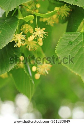 Lime blossom tree in spring. Flowers for tea, cosmetic component, aromatherapy. Shallow dof, soft focus.  - stock photo