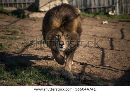 Lion Simba - stock photo