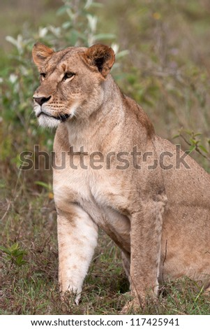 Lioness in national park central Africa, Kenya - stock photo