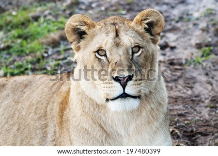 Lioness / Portrait of Female Lion Looking Up