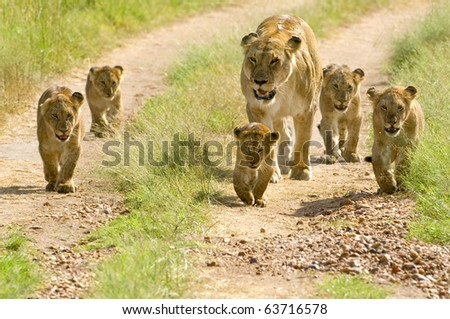 lioness walking her five cubs through Kenya's Masai Mara - stock photo